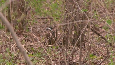 A small woodpecker, possibly a Downy woodpecker, hopping on forest floor
