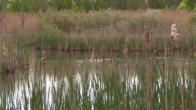 Canada Geese swimming in a pond,partially obscured by reeds