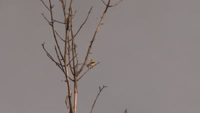 Small yellow bird perched on a bare tree branch, possibly an American Goldfinch
