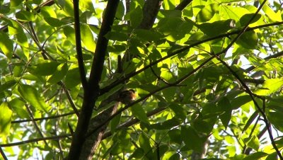 Black and red bird perched on a tree branch, preening, possibly an American Redstart
