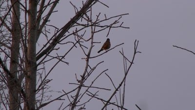 Small fat bird perched on a bare tree branch, possibly an American Robin
