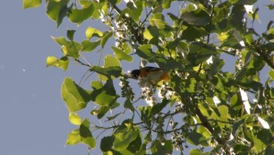 Black and orange bird perched in a tree, feeding, possibly a Baltimore Oriole