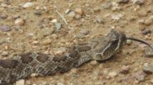Western Rattlesnake Macro Head Shot