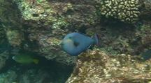 Black Trigger Fish Blue Phase Display