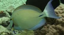 Surgeonfish At Hawaiian Cleaner Wrasse Cleaning Station