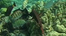 Hawaiian Cleaner Wrasse Cleaning Station