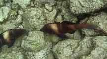 Manybar Goatfish Pair Hunting In Rocks