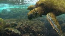 Green Sea Turtles Drifting With Surge