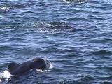 Pilot Whale Pod Traveling Along