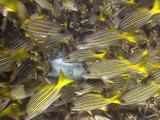 Trigger Fish Defends His Nest Against The Attack Of Blue And Gold Snapper