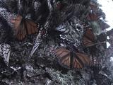 Monarch Butterflies Climb Up A Tree, One Falls.