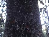 Tree Trunk Full Of Sleaping Migrating Monarch Butterflies