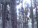 Trees Full Of Migrating Monarch Butterflies