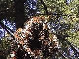 Branch Full Of Monarch Butterflies Bows Down In The Breeze