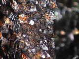 Thousands Of Butterflies Rest On A Tree Trunk