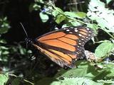 Migrating Monarch Butterflies