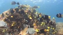 Huge School Of King Angelfish And Yellowtail Surgeon Fish