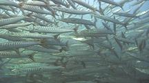 Huge School Of Barracudas