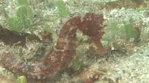 Sea Horse Moves Across Grassy Reef