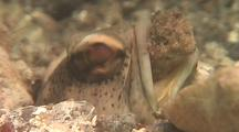 Juvenile Spotted Jawfish Moves A Rock Out Of His House