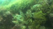 Large School Of Porcupine Fish Hide In Algae