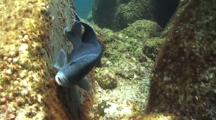 Giant Damselfish Protects Eggs