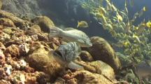 Leopard Grouper Trying To Mate