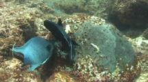 Giant Damselfish Fertilizes Eggs