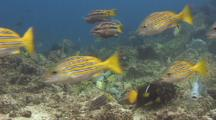 Trigger Fish Protect Their Nest From A Miriad Of Fish