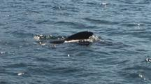 Pod Of Pilot Whales Surface Blow And Submerge
