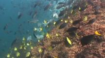 Large Shools Of Different Fish On The Reef