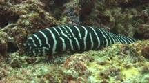 A Zebra Moray Eel Traveling On