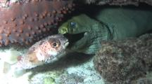 Suicidal Balloonfish Finds Safety Inside Mouth Of Green Moray Eel