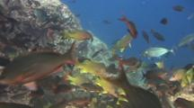 Excitement Builds As Reef Fish Swarm Fry In Rocks