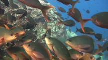 Pacific Creolfish  And Amarillo Snappers Swarm Reef