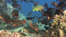 Pacific Creolfish Swarm Reef
