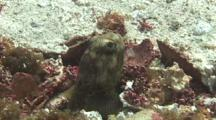 Jawfish Nearly Comes Out Of His Nest But Drops Back Down When He Notices The Camera