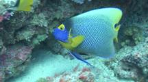 Blueface Angelfish Followed By Cleanerwrasse