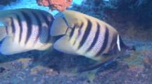 Six Banded Angelfish