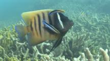 Six Banded Angelfish Cleaned By Cleanerwrasse