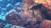 Marbeled Grouper Facing Camera