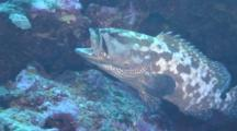 Marbeled Grouper Gulping
