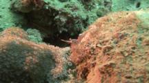 Shrimp On Coral Walking Around