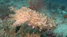 Camera Follows Cuttlefish