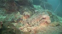 Camera Approaches Spotted Wobbegong Shark