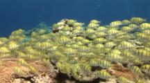 Big School Of Convict Surgeonfish, Camera Tracks