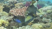 Titan Triggerfish Feeding