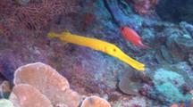 Yellow Trumpetfish