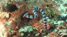 Banded Sea Snake Hunting