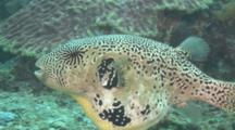 Giant Pufferfish